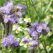 Une abeille dans une jachère de Ratte du Touquet